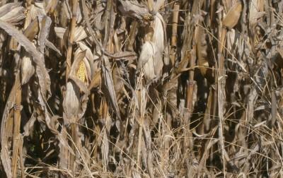 corn on November 13, 2013