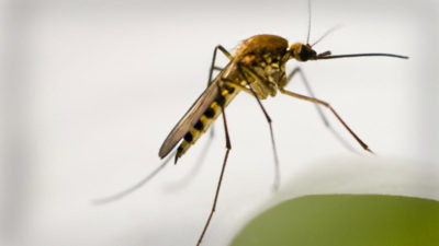 West Nile virus detected in Hoopeston mosquito