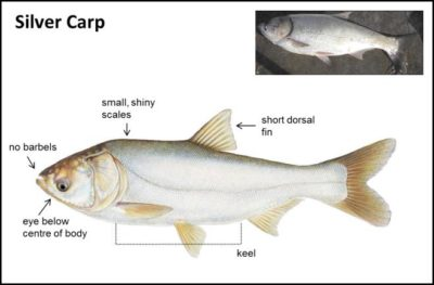 13th annual Redneck Flying Asian Silver Carp Tournament this Friday and  Saturday – WLDSWLDS